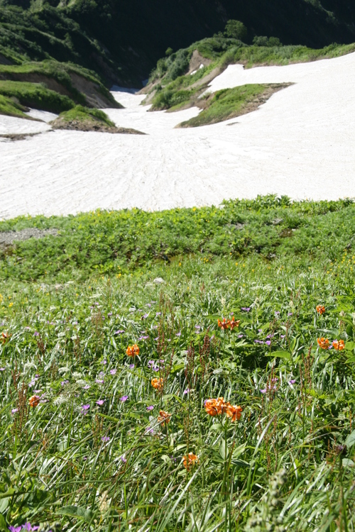 雪渓のお花畑
